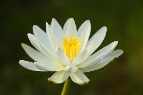 white lotus absolute 2