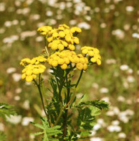 blue tansy essential oil 2
