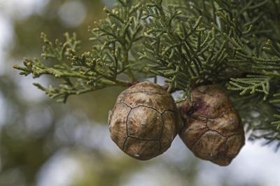 cypress essential oil 2