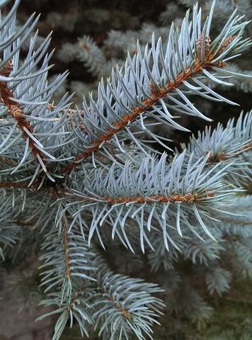 white fir essential oil 2