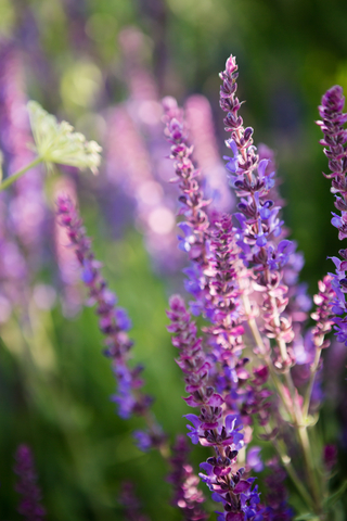 wild french lavender essential oil 2