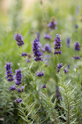 lavender bulgarian essential oil 2