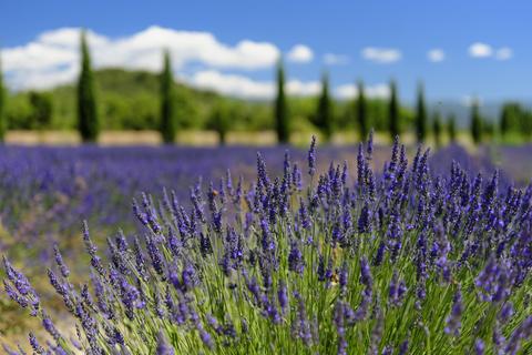 lavender fine essential oil 2