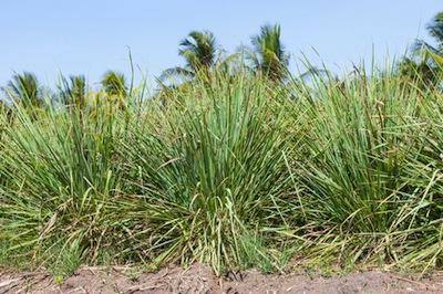lemongrass essential oil 2