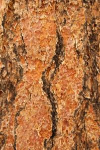 ponderosa pine essential oil 2