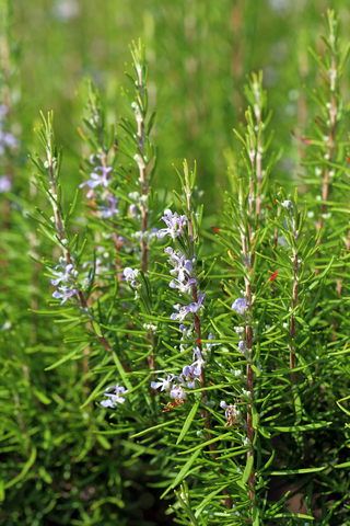 rosemary essential oil 2