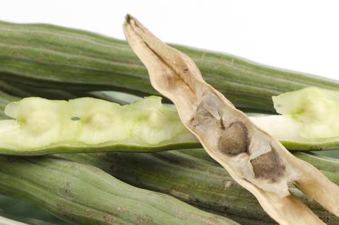 moringa seed botanical oil 3