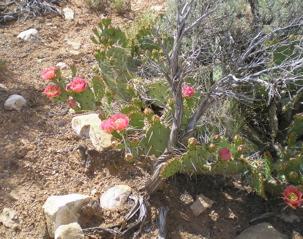 prickly pear botanical oil 2