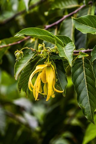 ylang ylang essential oil 2