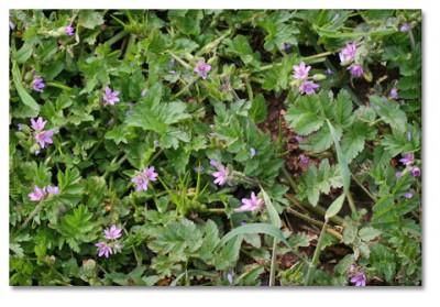 filaree flower essence 3