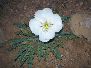 sand lily flower essence 3