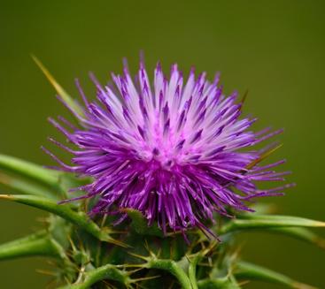 thistle flower essence 2