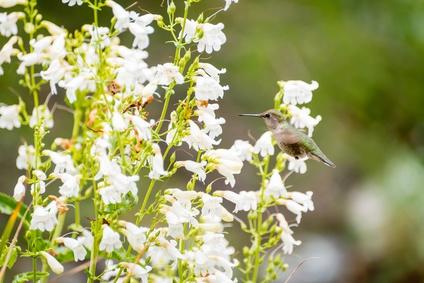 white penstemon flower essence 3