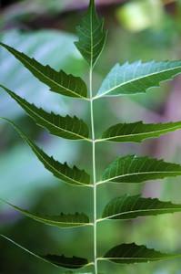 neem seed co2 extract
