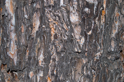 Black Spruce Bark Essential Oil