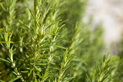 rosemary essential oil cineole chemotype