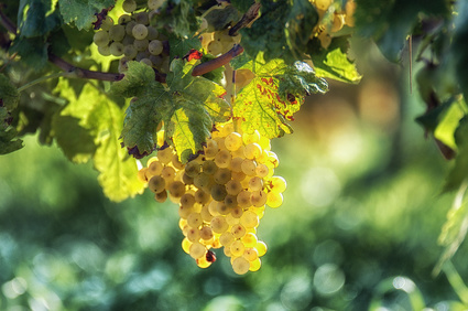 Grape Seed Botanical Oil