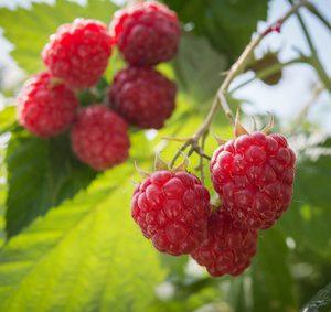 Red Raspberry Seed Botanical Oil