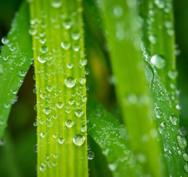 Gingergrass-Essential-Oil
