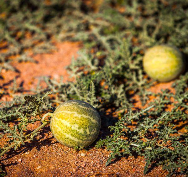 kalahari-melon-seed-botanical-oil